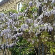 Glycines rue Dasmeme